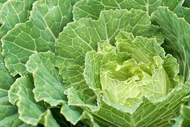 Sadzenie warzyw na sprzedaż, produkowanie zdrowych warzyw.