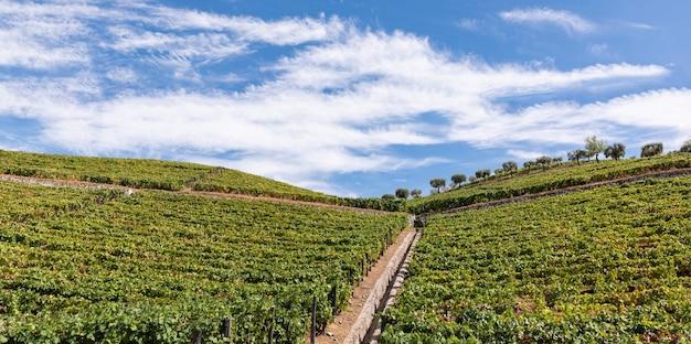 Sadzenie winorośli do zbioru i przetwarzania wina