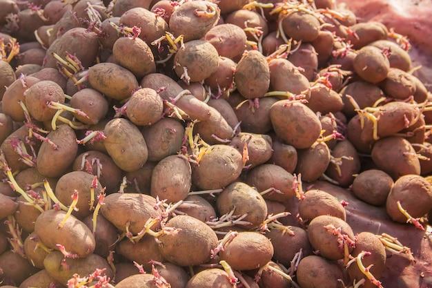 Sadzenie ziemniaków. ogród. selektywna ostrość. jedzenie organiczne.