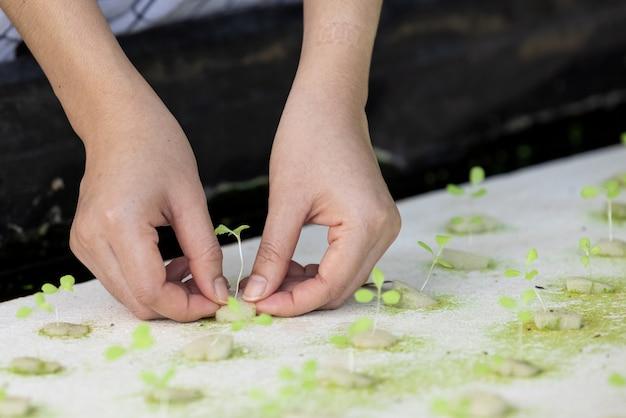 Sadzonka hydroponicznych kiełków warzyw na mokrej gąbce w szkółce roślin. sałata rosnąca z nasion i ręki młodego rolnika w gospodarstwie ekologicznym tajlandii