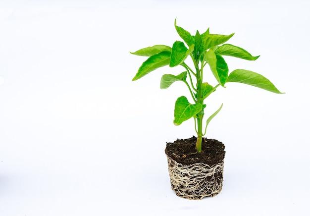 Sadzonka papryki z dobrze rozwiniętym systemem korzeniowym na białym tle. korzeń i łodyga, liście sadzonek pieprzu.