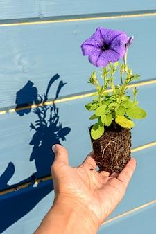 Sadzonka petunii z liliowym lub niebieskim kwiatem w rękach ogrodnika z cieniami, zbliżenie z selektywnym zmiękczeniem ostrości