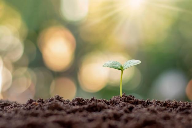 Sadzonka roślin rosnąca na glebie w świetle poranka na naturalnym tle.
