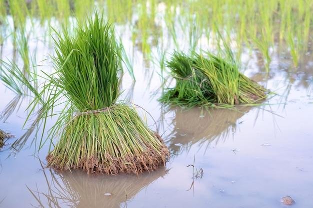 Sadzonka ryżu została wycofana w celu przygotowania do sadzenia w tajlandii