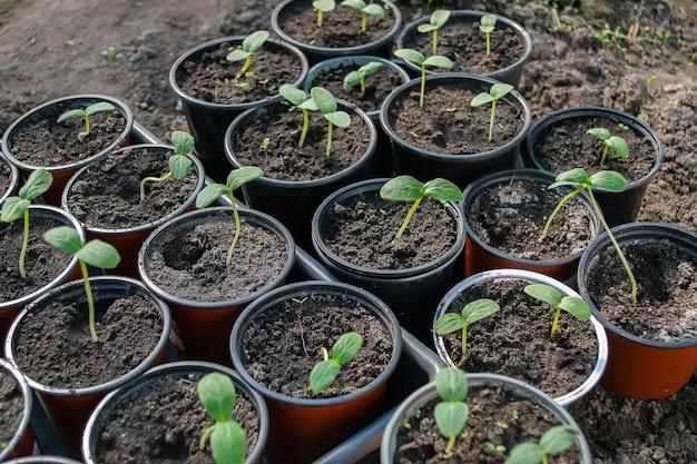 Sadzonki doniczkowe rosnące w biodegradowalnych doniczkach z mchu torfowego