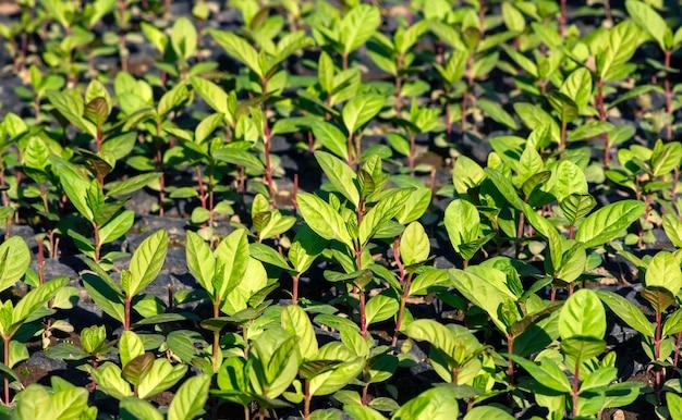Sadzonki guawy ustawione w szkółce, tło naturalne, w płytkim skupieniu