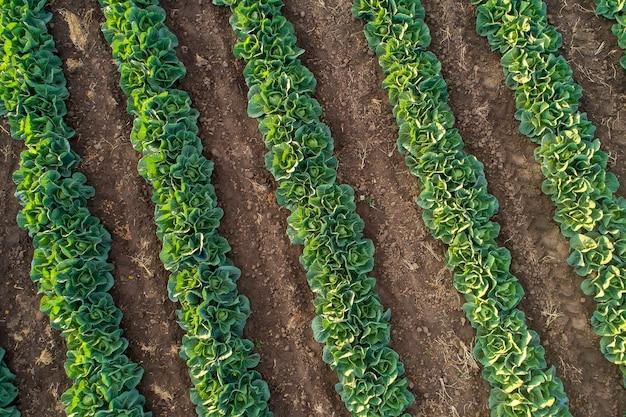 Sadzonki kapusty w rzędach w polu farmy, widok z lotu ptaka z drona.