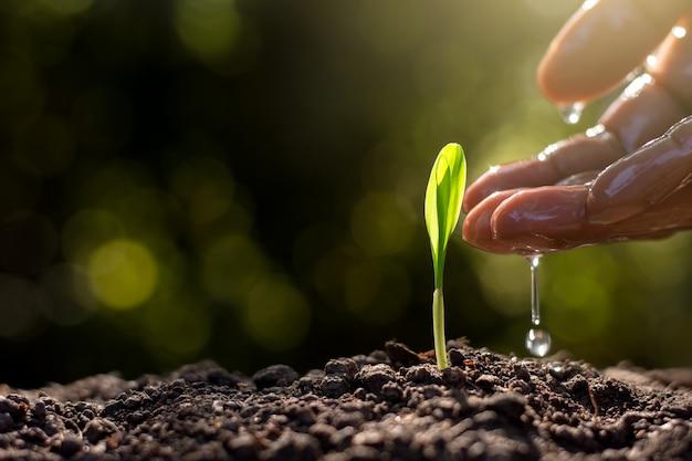 Sadzonki kukurydzy wyrastają z gleby.