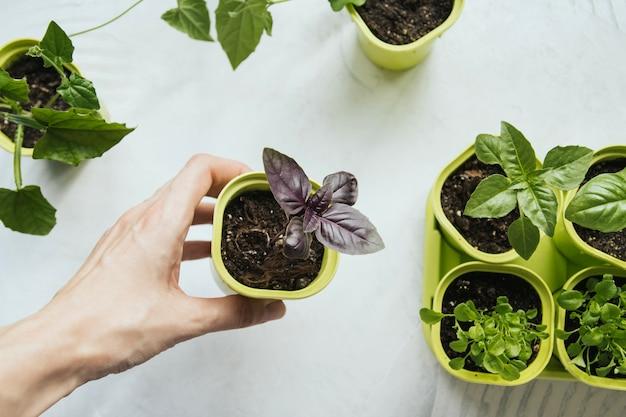 Sadzonki kwiatów w zielonych plastikowych doniczkach. bazylia sadzonka. plastikowy garnek z młodą bazylią wyrastający w żeńskiej dłoni.