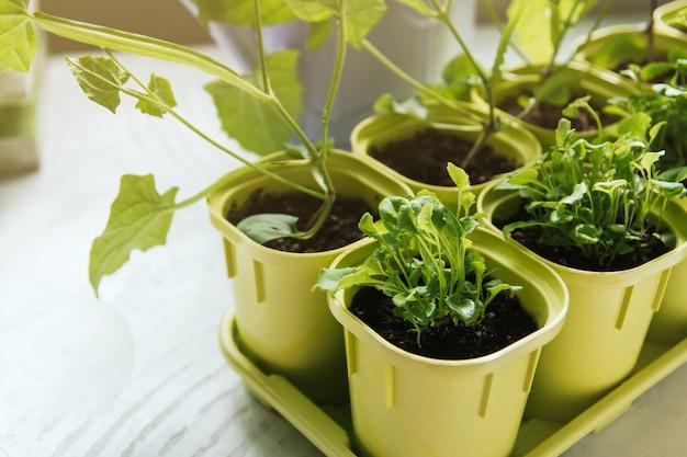 Sadzonki kwiatów w zielonych plastikowych doniczkach. sadzonki lobelii. młode rośliny przy oknie.