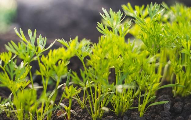 Sadzonki marchwi młode rośliny zielone liście w glebie po deszczu w przydomowym ogrodzie. domowa uprawa warzyw w okresie wiosennym.