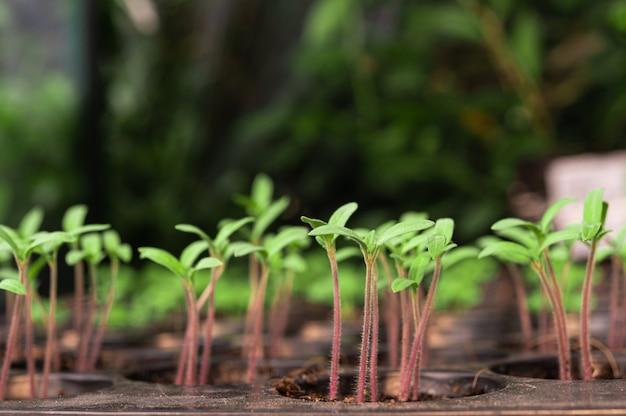 Sadzonki na tacy do sadzenia.