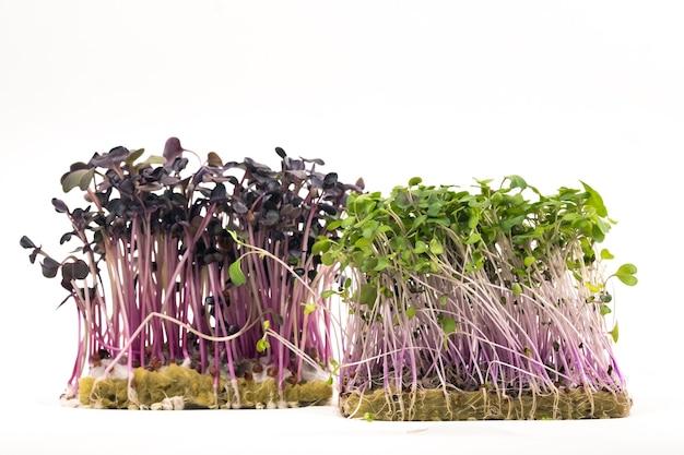 Sadzonki nasion mikro-zielone na białym na białym tle.