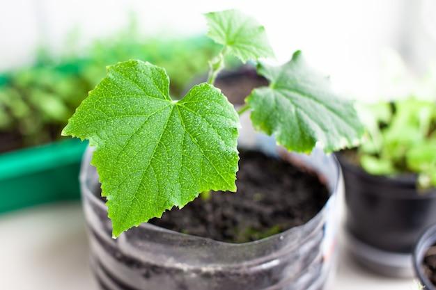 Sadzonki ogórków i roślin w doniczkach w pobliżu okna, zbliżenie zielonych liści. uprawa żywności w domu dla ekologicznego i zdrowego stylu życia. rosnące sadzonki w domu w zimnych porach roku