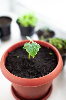 Sadzonki ogórków w doniczkach w pobliżu okna, zbliżenie zielonych liści. uprawa żywności w domu dla ekologicznego i zdrowego stylu życia. rosnące sadzonki w domu w zimnych porach roku