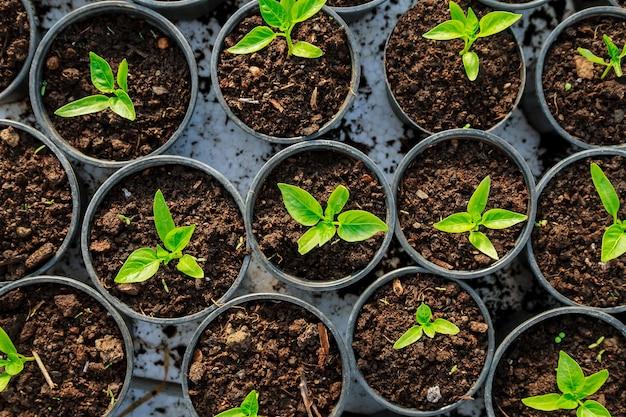 Sadzonki papryki w plastikowych doniczkach. rosnące sadzonki wczesną wiosną w szklarni.