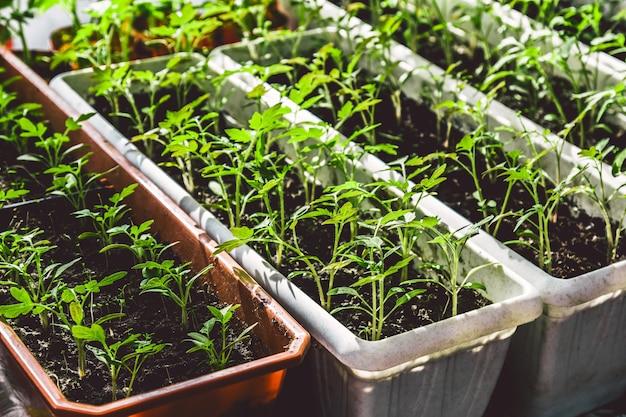 Sadzonki pomidorów rosnących na parapecie, koncepcja ogrodnictwa domowego