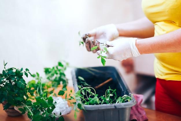 Sadzonki pomidorów rosnących w czarnym doniczce z tworzywa sztucznego, szklarnia roślin transportowych - selektywne focus,