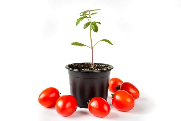 Sadzonki pomidorów w doniczce i owoców pomidora na białym tle.