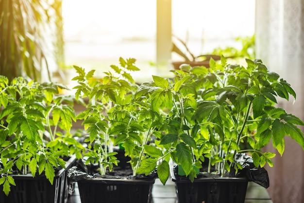 Sadzonki pomidorów w doniczkach są w pobliżu okna. sadzonki są gotowe do sadzenia w ziemi