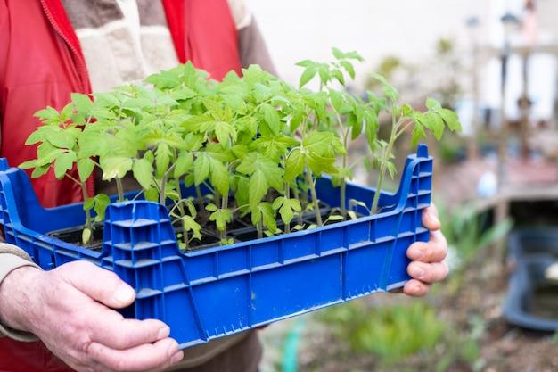 Sadzonki pomidorów w rękach starszy rolnik. jak uprawiać jedzenie w domu. kiełkuje zielone rośliny i ogrodnictwo domowe. chatka