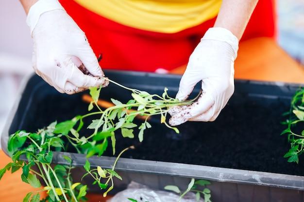 Sadzonki pomidorów w rękach w rękawicach trzymaj kiełkować idzie o roślin do plastikowej doniczki, transportayion przed olant w ziemi na zewnątrz
