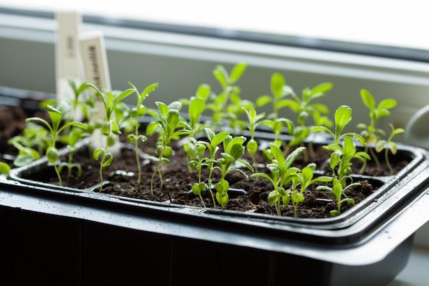Sadzonki rosnące na plastikowej tacy do kiełkowania