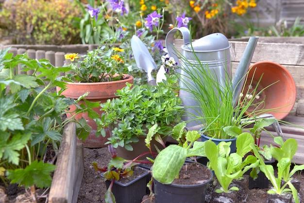 Sadzonki warzyw i aromatyczna roślina ze sprzętem ogrodniczym w małym ogródku