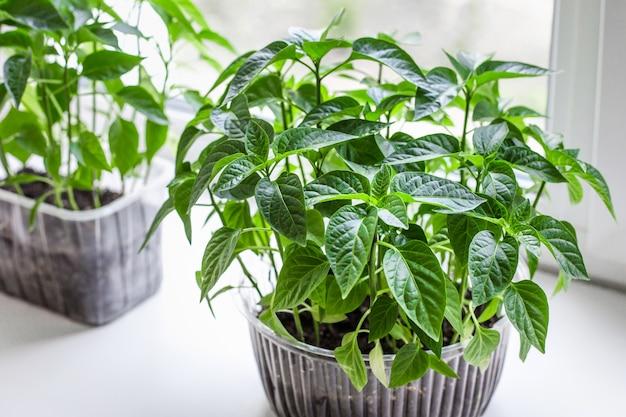 Sadzonki warzyw uprawnych pomidorów i papryki w plastikowych doniczkach na parapecie