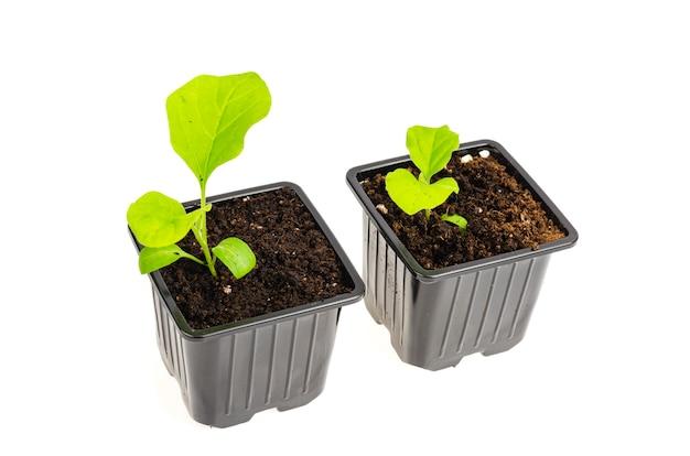 Sadzonki zielonego bakłażana rosną w ziemi w pojemnikach na sadzonki