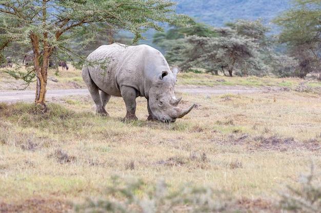 Safari. biały nosorożec na sawannie