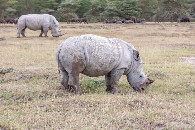 Safari - nosorożce na sawannie