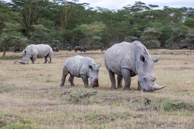 Safari - nosorożce na tle sawanny