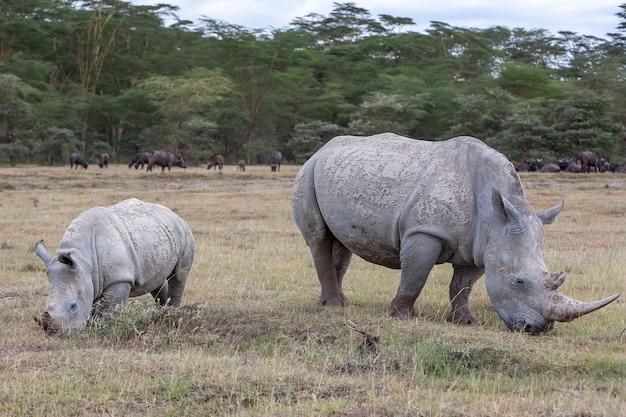 Safari - nosorożce