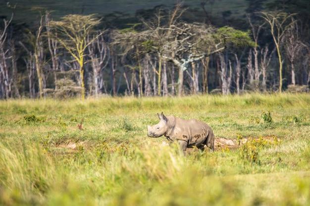 Safari samochodem w parku narodowym nakuru w kenii w afryce. mały afrykański nosorożec biały