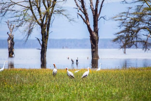 Safari samochodem w parku narodowym nakuru w kenii w afryce. piękne ptaki nad jeziorem nakuru