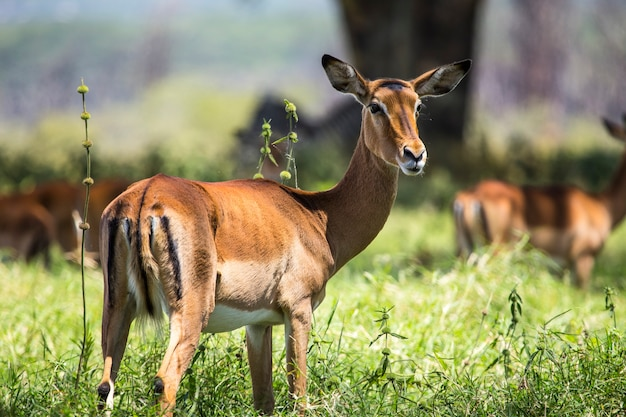Safari samochodem w parku narodowym nakuru w kenii w afryce. śliczny łoś