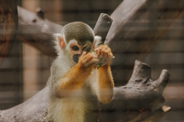 Saimiri sciureus w klatce to mała małpa znaleziona w ameryce południowej.