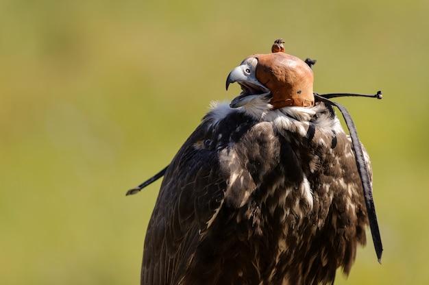 Saker falcon (falco cherrug) z kapturem na zielonym tle
