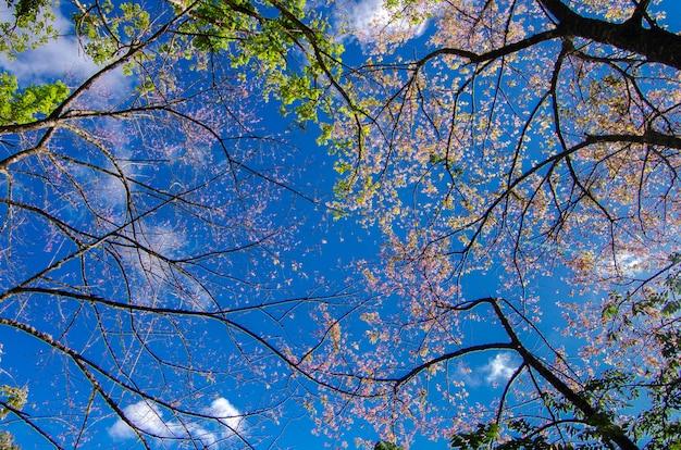 Sakura błękita tło angkhang chiang mai tajlandia
