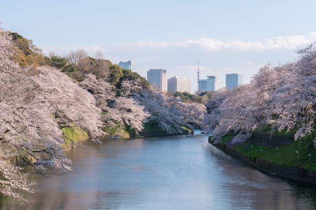 Sakura drzewo kwiat wiśni w parku chidorigafuchi, tokio japonia wiosną.