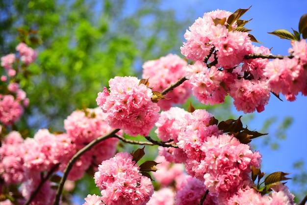 Sakura festiwal kwiat wiśni sacura wiśnia drzewo stokrotka kwiat stokrotka kwiaty w kwiatach łąkowych...