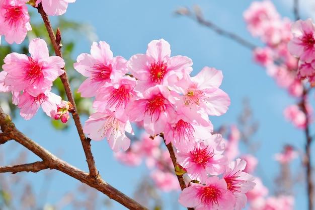 Sakura kwiat na tle przyrody
