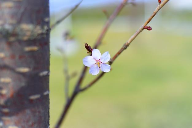 Sakura kwiat przeciw trawie