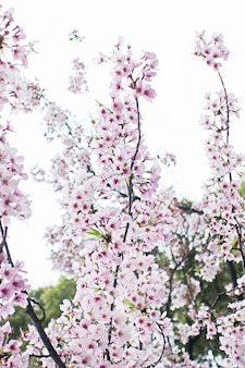 Sakura kwiat wiśni backgrund