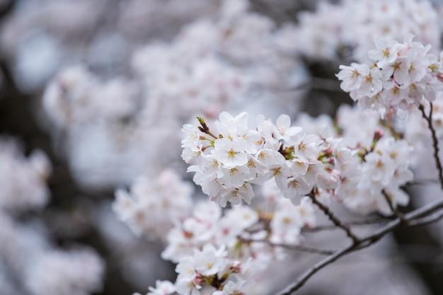 Sakura, kwiat wiśni w sezonie wiosennym