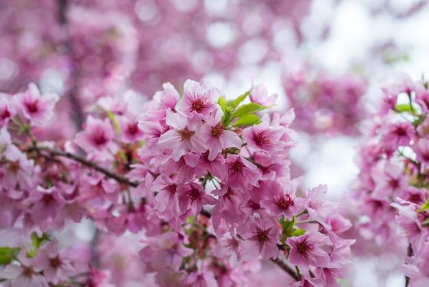 Sakura kwiaty lub kwiat wiśni w ogrodzie