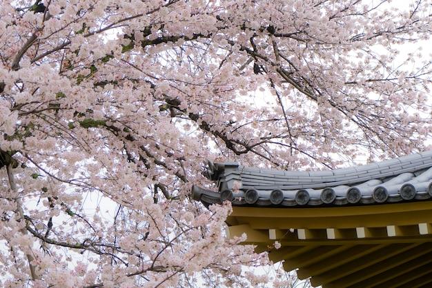 Sakura kwiaty lub wiśniowy kwiat z dachem domu w kyoto, japonia.