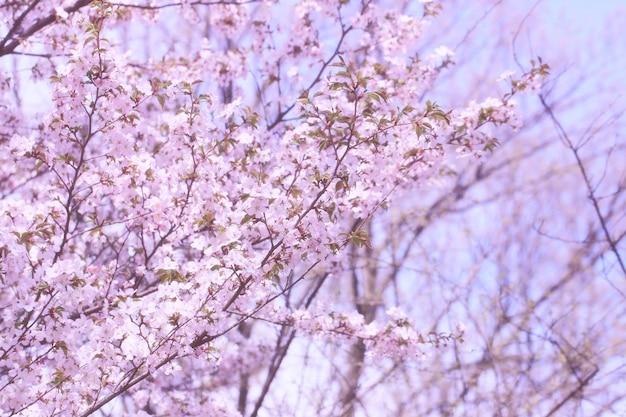 Sakura kwiaty na gałęziach drzew w parku delikatne wiosenne tło
