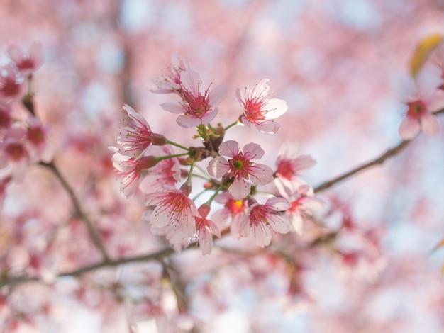 Sakura kwiaty wiśni na gałęzi